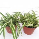 "Two Ocean Spider Plant Easy to Grow Cleans the Air NEW 4"" Pot (FREE SHIPPING)"