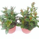 "Two Goldfish Plant - 4"" Pot - Blooms Constantly (FREE SHIPPING)"
