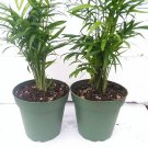 "Two Victorian Parlor Palm - Chamaedorea - Indestructable - 4"" Pot (FREE SHIPPING)"