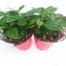 "Two Arabica Coffee Bean Plant - 3.5"" Pot with Decorative Pot Cover (FREE SHIPPING)"