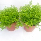 "Two Frosty Fern Spike Moss - Selaginella - Easy to Grow - 2.5"" Pot (FREE SHIPPING)"