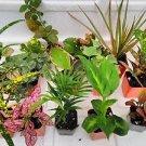 Terrarium & Fairy Garden Plants - 6 Plants in 2.5