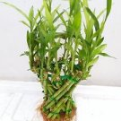 Basket Shaped Lucky Bamboo Plant