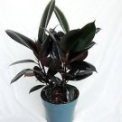 """Burgundy Rubber Tree Plant - Ficus - An Old Favorite - 4"""" Pot"""