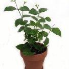 Gardens Maid of Orleans Arabian Tea Jasmine Plant 4'' Clay Pot