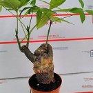 Money Tree Pachira Bonsai Shohin Dwarf Fat Big Large Knotted Trunk In/outdoor 4'