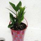 Valentine decorative pot- Rare ZZ Plant - (FREE SHIPPING)