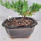 Juniper Bonsai-panda-with Ceramic Bonsai Pot