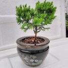 Juniper Tree Bonsai panda Best Gift