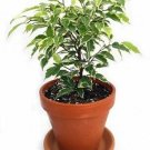 "Gardens Starlight Weeping Fig - Ficus - 4"" Clay Pot"