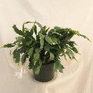 "Hirt's White Christmas Cactus Plant -Zygocactus - 6"" Pot"