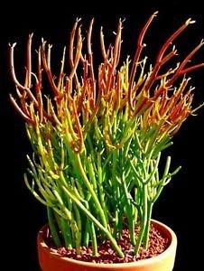 """Fire Sticks Pencil Cactus - Euphorbia - Easy to grow - 6"""" Pot"""