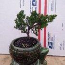"Japanese Juniper Bonsai Starter Tree - 4"" with Ceramic Pot"