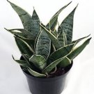 "Starlite Snake Plant, Mother-in-law's Tongue - Sanseveria - 4"" Pot"