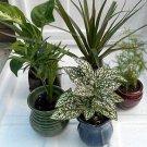 "Miniature Garden 5 -Plants in 3"" ceramic pots"