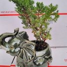 Japanese Juniper Bonsai Tree Fluffy Elephant Indoor/outdoor 4.5 Vase