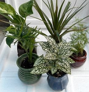 "Miniature Garden Plants -3 Plants in 3"" ceramic pots"