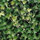 "Baltic English Ivy 1- Plant - Hardy Groundcover -4"" Pot"