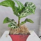 "Zebra Plant - Aphelandra - Exotic & Unusual House Plant - 5"" Decorative Fuchsia"