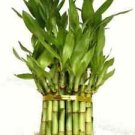 "3 Tier 4"" 6"" 8"" Lucky Bamboo +10 Bottles of mo'green FREE SHIPPING"