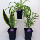 House Plant Collection - Parlor Palm, Spider Plant, Snake Plant