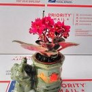 Novelty African Violet -3''with Elephant Vase /Better Growth - Best Blooming Pla