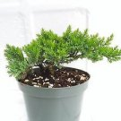 Tree Bonsai Juniper Garden 6'' Pot with Bonsai Fertilizer Slow Release