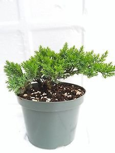Tree Bonsai Juniper Garden 6'' Pot with Bonsai Fertilizer Slow Release