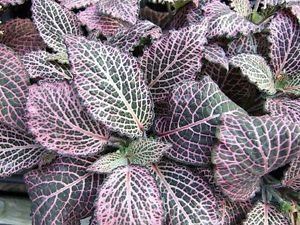 "Pink Veined Nerve Plant - Fittonia - Easy House Plant - 4"" Pot"