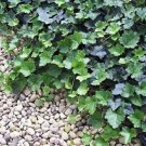 "Baltic English Ivy 8 Plants - Hardy Groundcover - 2 1/4"" Pot"