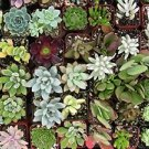"""Collection of 5 Plants - 2""""pot Succulents Easy Growth"""