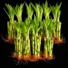 KL Design & Import - 100 Stalks Of 4 Inch Straight Lucky Bamboo For Feng Shui Or