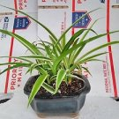 -reverse Variegated Spider Plant - Bonsai Pot 4x4x2 for Better Growth - Cleans t