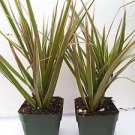 Two Strong Dracaena Marginata Colorama - Tri-color Dragon Tree Houseplant