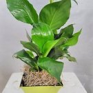 Peace Lily Plant - Spathyphyllium - Decorative 5'' Lime Green Pot