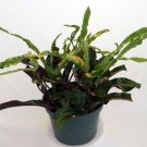 "Dreadlocks Croton - 4"" Pot - Colorful House Plant -"