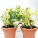 "Two Marble Queen' Devil's Ivy Pothos 4.5"" Unique Design Pot - Easy to Grow"