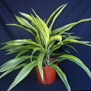 Lemon Lime Madagascar Dragon Tree - 6'' Pot Dracaena - Easy!