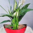 Peace Lily Spathiphyllum with Pot 9x5'' Inches 5'' Tall Indoor Air Purification