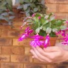 "Pink Christmas Cactus Plant - Zygocactus - 6"" Pot"