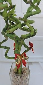 """lucky bamboo Decorated -The Indoor Christmas-4"""" Pot w/ Glasses Vase"""