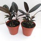 "Two Burgundy Rubber Tree Plant Ficus an Old Favorite 4"" Pot"