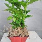 Arabica Coffee Bean Plant -With Decorative Red/blck 5'' Pot