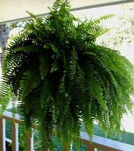 """Fern 8"""" Hanging Basket, LIVE PLANT!!!"""