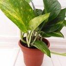 """Golden Devil's Ivy - Pothos - Epipremnum - 4.5"""" Unique Design Pot"""
