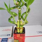 Live 5 Style of Lucky Bamboo Plant Arrangement w/ 4''ceramic Vase