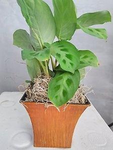 """Green Prayer Plant - Maranta - Easy to Grow - 5"""" Decorative Coconut Pot"""