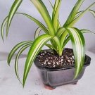 Ocean Spider Plant -Bonsai Pot 6x4x2 for Better Growth - Cleans the Air/easy to