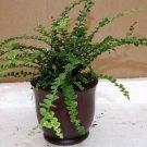 "Lemon Button Fern 4"" ceramic-Pot color red - Nephrolepis cordifolia Duffii"