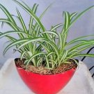 Ocean Spider Plant - Easy to Grow - Cleans the Air - With Pot 9x5'' Inches 5''